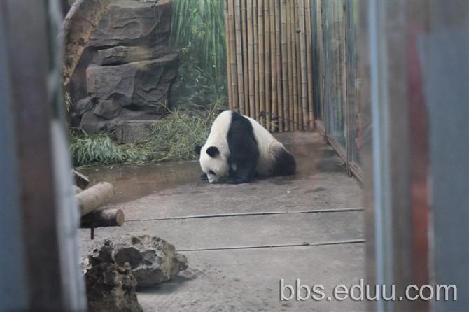 郑州动物园大熊猫图片大全
