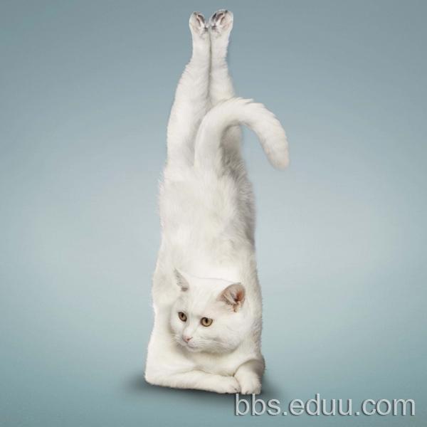 可爱瑜伽猫:搞笑,健身两不误