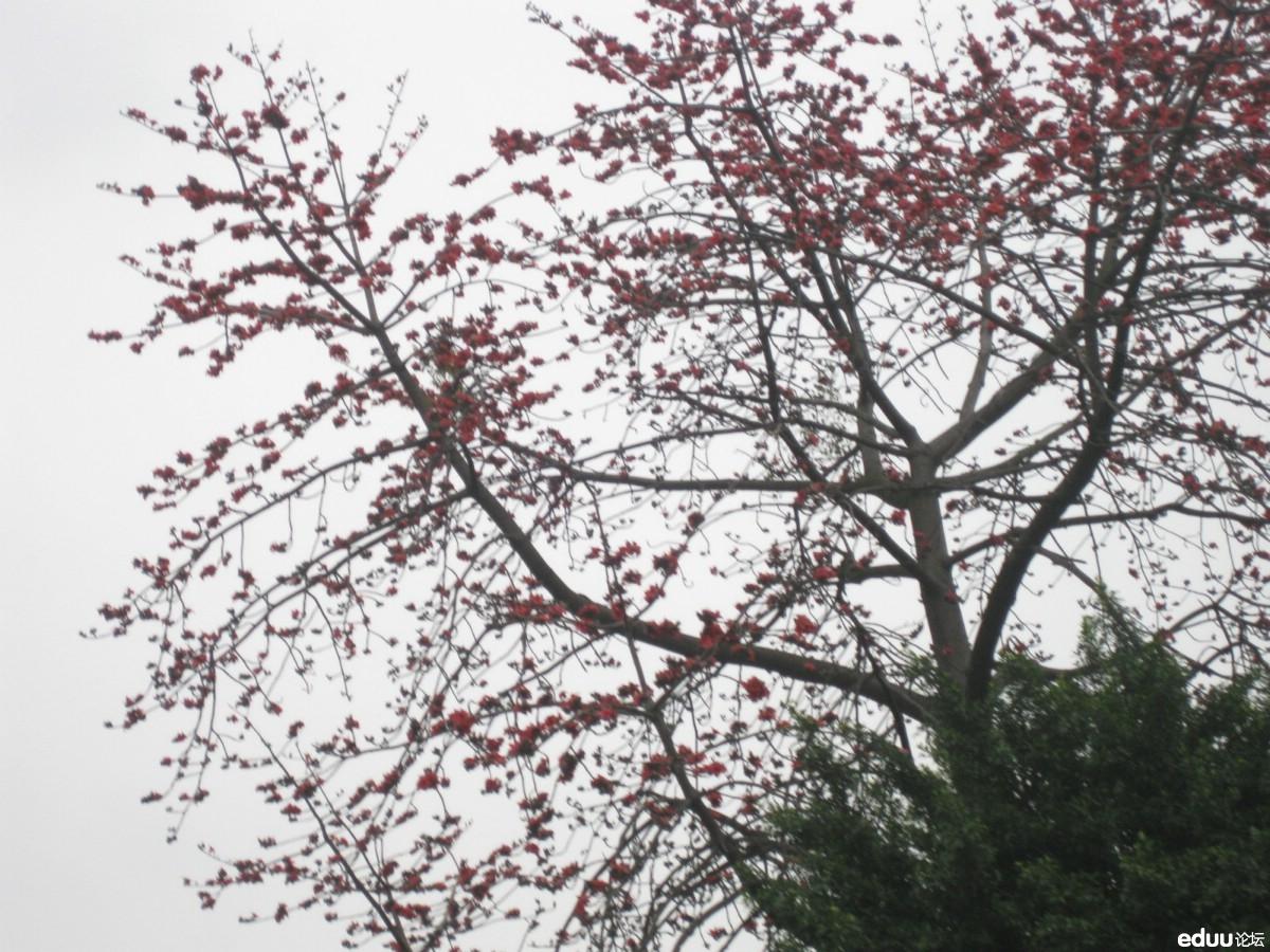 【发现春天】木棉花的春天