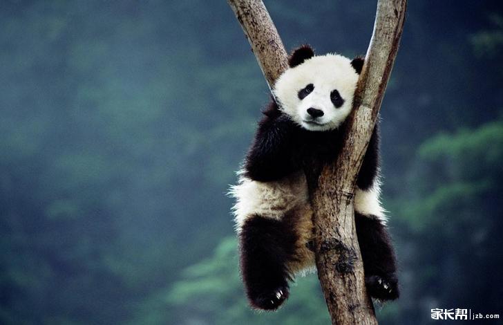 可爱的国宝大熊猫了呢