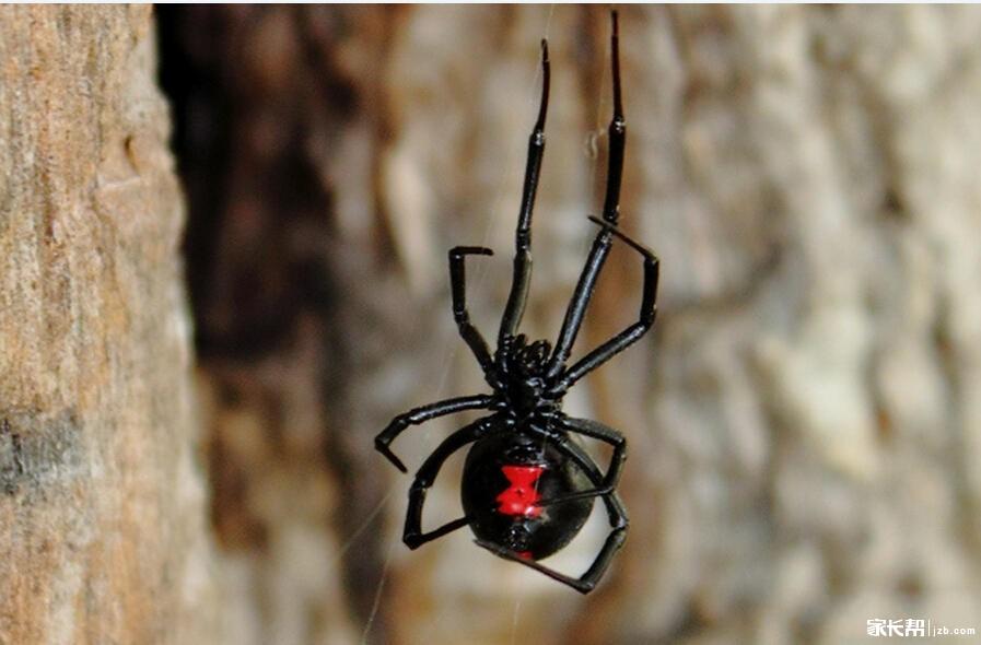 蜘蛛毒液并不可怕:一旦