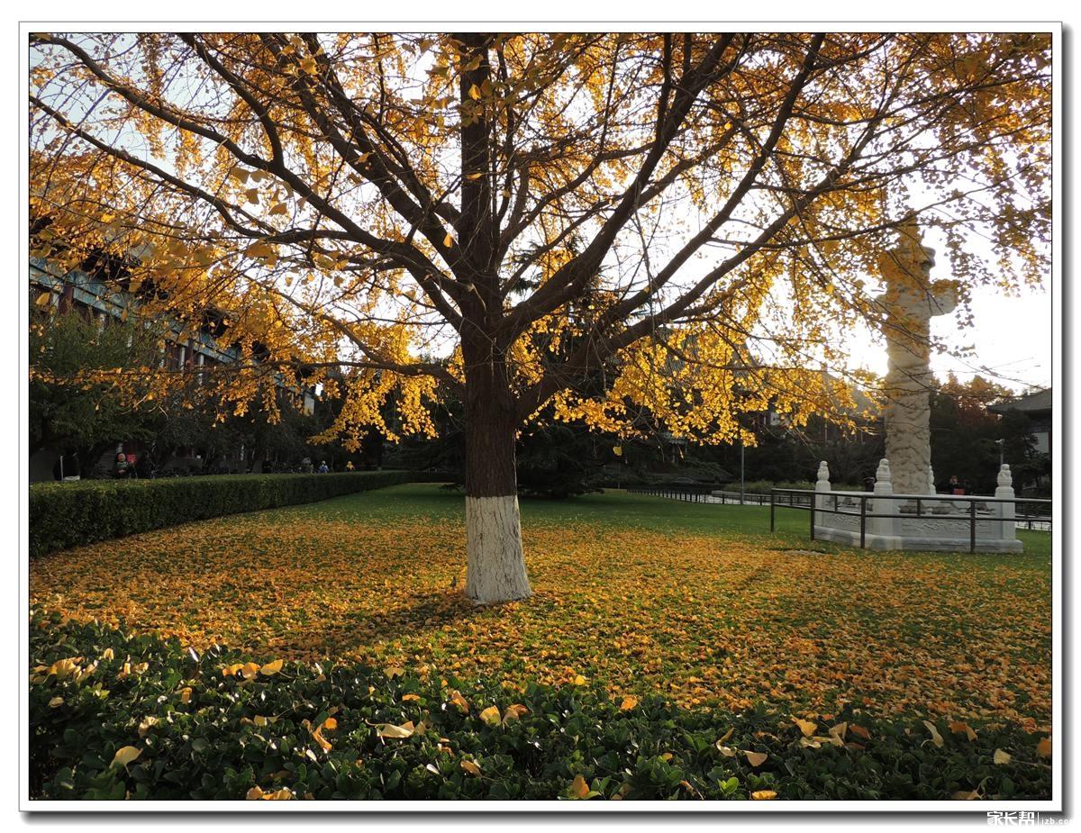 传说中的北大老银杏树