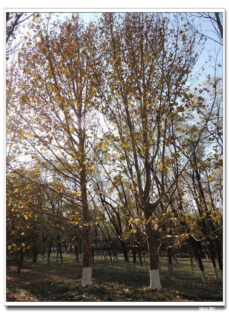 梧桐树的树皮玩