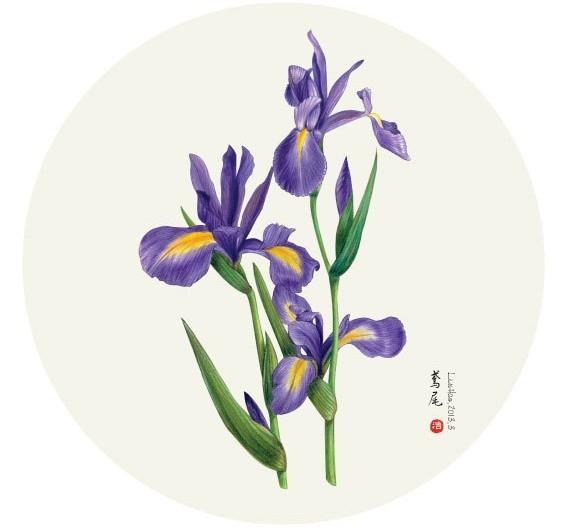 5月12日生日花   生日花:鸢[yun]尾花   君士坦丁堡的圣赫尔玛鲁斯之花   自古以来,基督教里就有将圣人与特定花朵连结在一起的习惯,这因循于教会在纪念圣人时,常以盛开的花朵点缀祭坛所致!而在中世纪的天主教修道院内,更是有如园艺中心般的种植着各式各样的花朵,久而久之,教会便将366天的圣人分别和不同的花朵和在一起,形成所谓的花历。当时大部分的修道院都位在南欧地区,而南欧属地中海型气候,极适合栽种花草。鸢尾花是菖蒲的花卉,就是被选来供奉反对8世纪发生在东地中海地区的破坏圣像狂信者,君士坦丁堡的圣