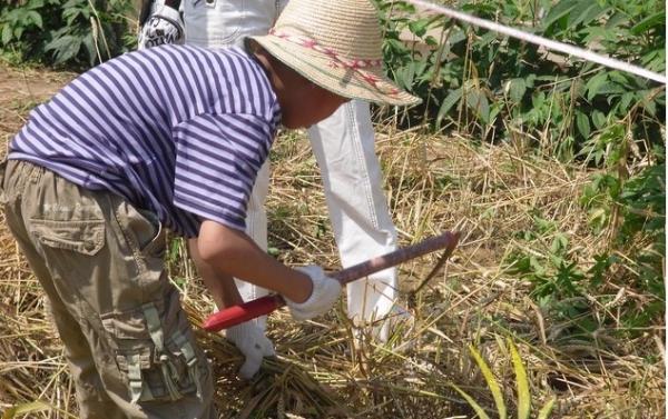 【童步天下农事体验】北京的小麦要收获了!快来帮忙收割啦!