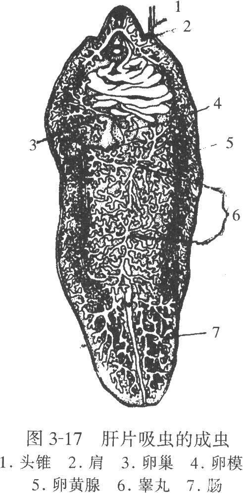 肝片吸虫的成虫结构.jpg